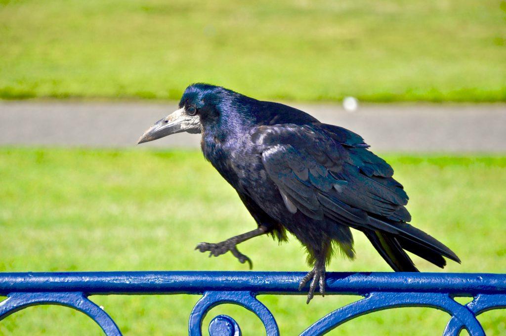 Bray, črni ptič