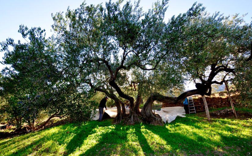 Obiranje oliv na Hvaru