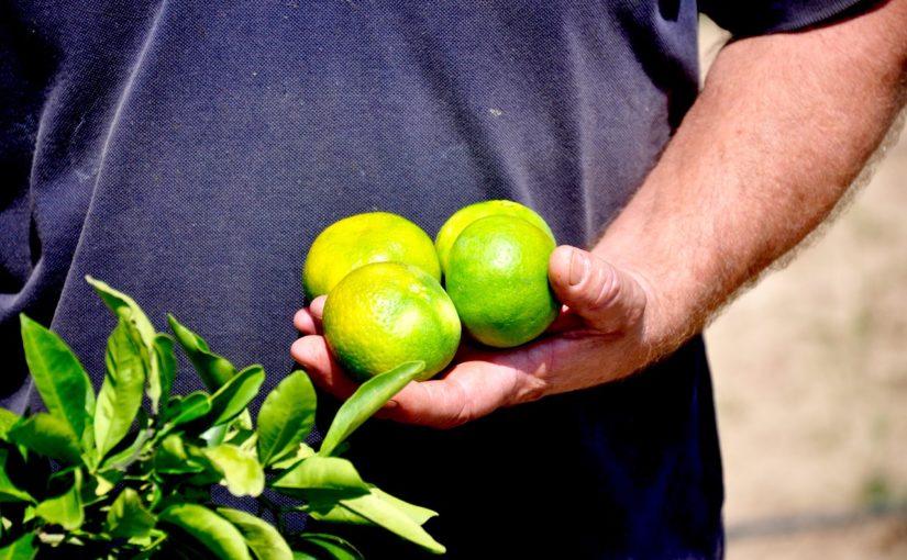 Mandarine na poljih pri izlivu Neretve